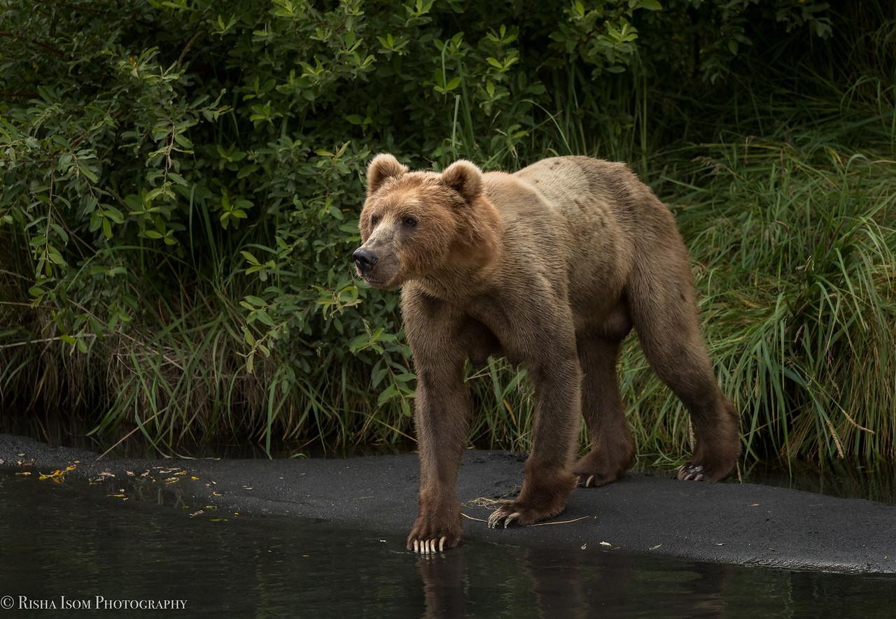 Kodiak Brown Bear- Kodiak, Alaska