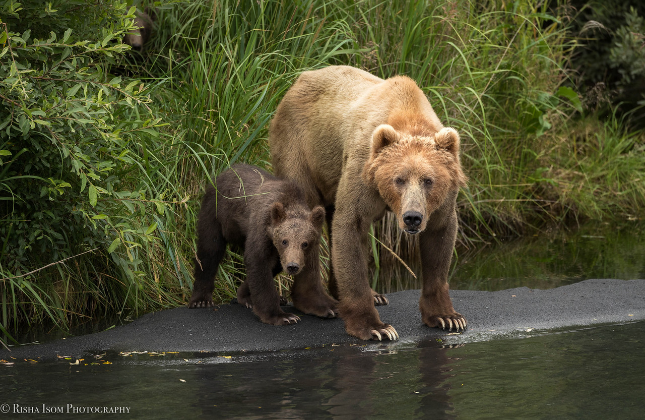 Kodiak Bear- sow and her two cubs.