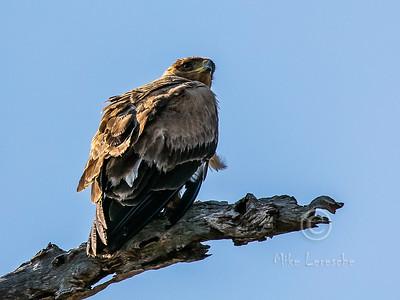 R 132 Tawny Eagle