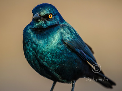 R 764 Cape Glossy Starling
