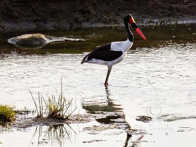 Saddle-billed Stork (R088)