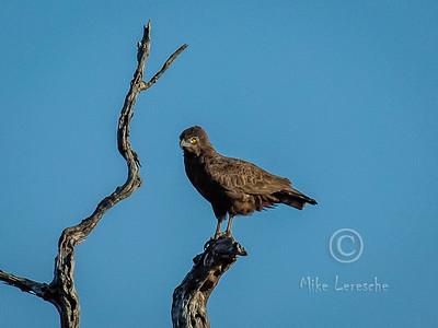 R 142 Brown Snake-eagle