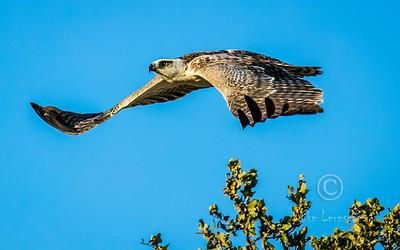 Martial Eagle (Imm) (R140)
