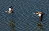 Egyptian Goose (102)