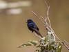 Southern Black Flycatcher (694)