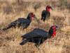 Southern Ground-hornbill (R463)