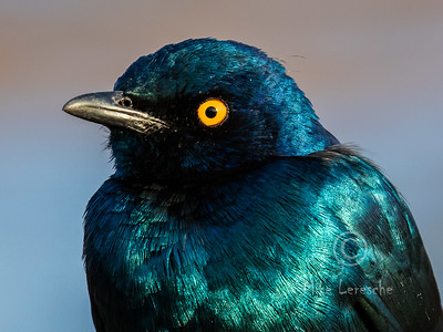 (R 765) Greater Blue-eared Starling