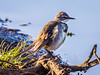 Cape Wagtail (713)