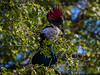 Purple-crested Turaco (Loerie) (R371)