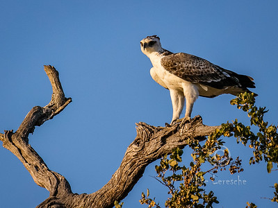 (R 140) Martial Eagle (Im)