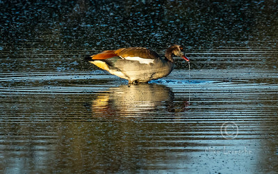 (R 102) Egyptian Goose