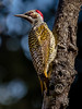 Golden-tailed Woodpecker (483)