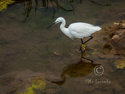 (R 067) Little Egret