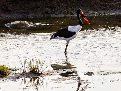 Saddle-billed Stork (R088)