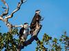 (R 137) African Hawk-eagle
