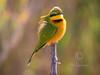 Little Bee-eater (R444)