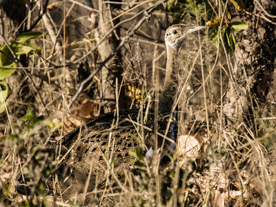 Black-bellied Bustard (Korhaan) (R238)