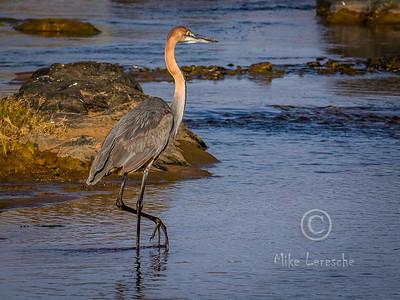 (R 064) Goliath Heron