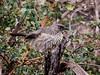 Arrow-marked Babbler (560)