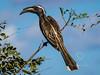 African Grey Hornbill (456)