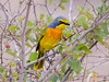 Orange-breasted Bush-shrike (R748)