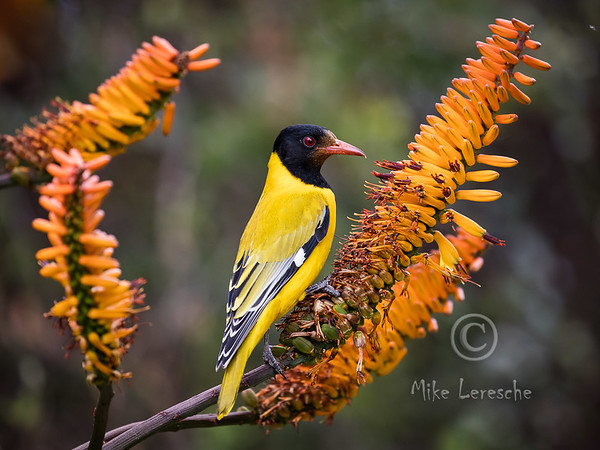 R 545 Black-headed Oriole