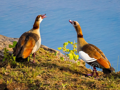 Egyptian Goose (R102)