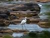 Great White Egret (066)