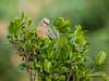 Red-faced Mousebird (436)