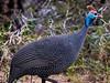 (R 203) Helmeted Guineafowl