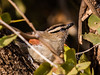 Black-crowned Tchagra  (744)