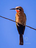 White-fronted Bee-eater (443)