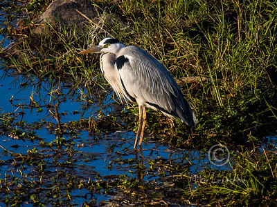 (R 062) Grey Heron
