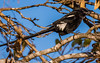 (R 735) Magpie (African Longtailed) Shrike