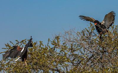 (R 146) Bataleur (R 148) African Fish-eagle