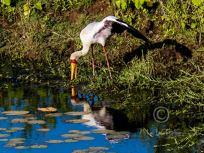(R 090) Yellow-billed Stork