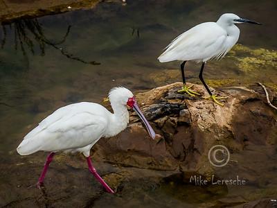 (R 095) African Spoonbill  (R067)  Little Egret