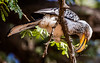 Southern Yellow-billed Hornbill (R459)