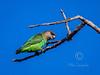 Brown-headed Parrot (363)