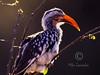 (R 458) Red-billed Hornbill