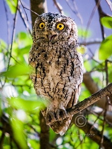 (R 398) Pearl-spotted Owlet