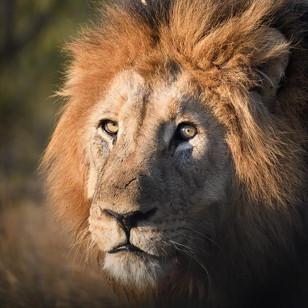 Lion Portrait; 500mm 1/2000 f/8 ISO 2,800