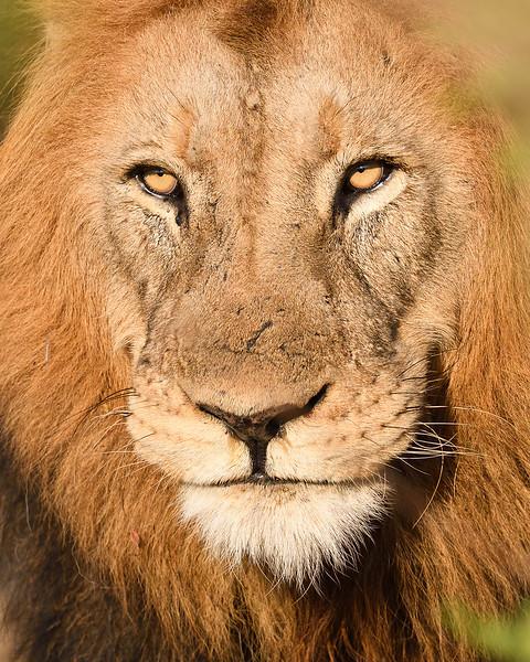 Lion Portrait; 500mm 1/4000 f/5 ISO 1,600