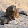 Mongooses; 700mm 1/500 f/7.1 ISO 1,800