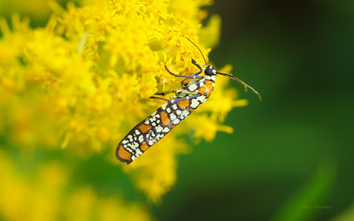 Ailanthus Webworm Moth, Atteva aurea