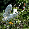 Snowy Egret carrying nesting sticks
