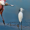 Spoonbill and Snowy Egret