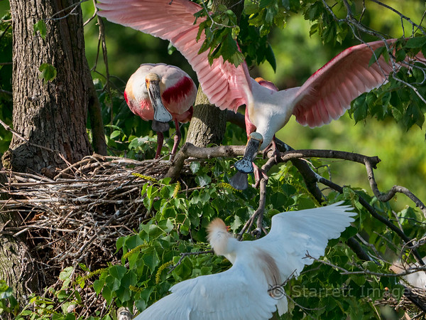 Spoonbill arguing with cattle egret about nesting space