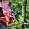 Spoonbills mating