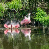 Spoonbills bathing